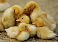 fotos de patos 2