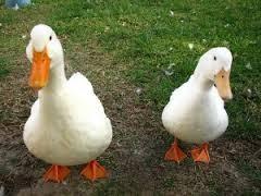 fotos de patos 3