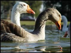 fotos de patos 5
