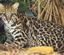 animais da fauna brasileira 1