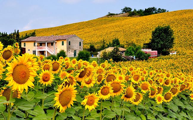 campo de flor girasol