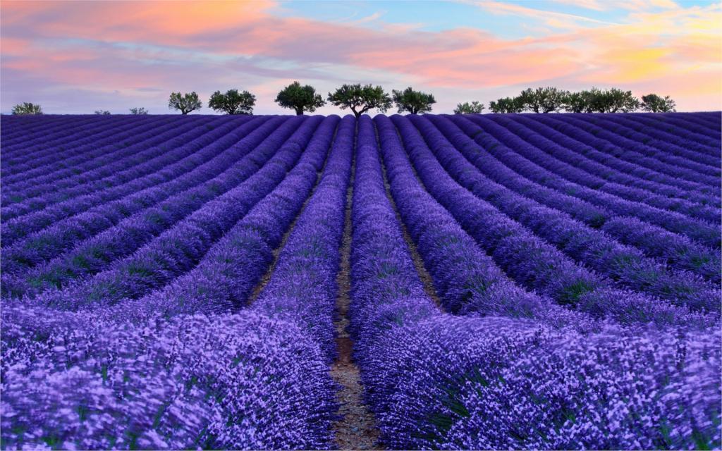 campo de flores azuis