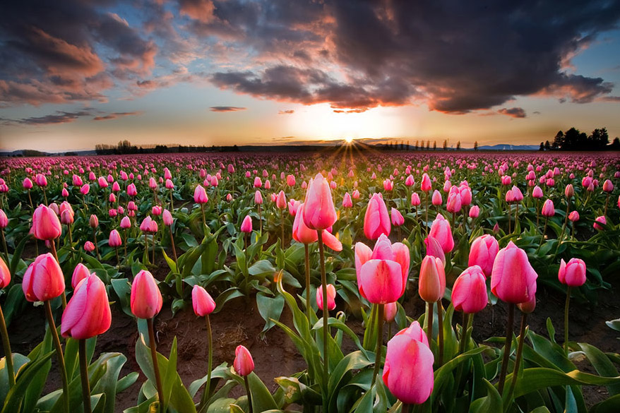 campo de flores cor de rosa